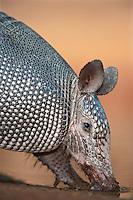 605500039 a wild nine-banded armadillo dasypus novemcintus drinks at a small pond on santa clara ranch hidalgo county rio grande valley texas united states