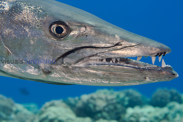 Great Barracuda (Sphyraena barracuda) with parasitic Copepods on the upper jaw, Hawaii, USA.