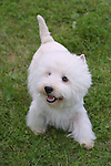 west highland white terrier Shopping cart has 3 Tabs:<br />