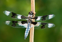 389340001 a wild male eight-spotted skimmer libellula forensis perches on a dead twig in fish slough mono county callifornia