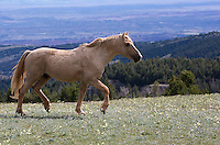 This is Cloud, unquestionably the most famous stallion in the entire herd. Nature produced at least 3 short films about him which can be watched for free from their website. He will be 20 next year but he is still very much in control of his band  and doing well.