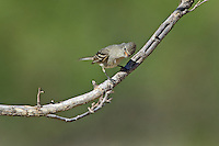 584750004 a wild northern beardless tyrannulet camptostoma imberbe perches on a mesquite branch in the madera grasslands green valley arizona united states