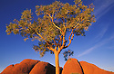Eucalyptus tree and Kata Tjuta; Australia, Uluru - Kata Tjuta National Park, World Heritage Site