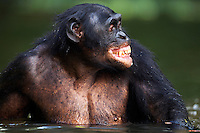 Bonobo mature male aged 17 years making facial gesture while wading in water (Pan paniscus), Lola Ya Bonobo Sanctuary, Democratic Republic of Congo.