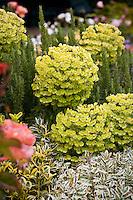 Yellow, charteuse flower bracts of drought tolerant perennial Mediterranean Spurge, Euphorbia characias wulfenii in California garden