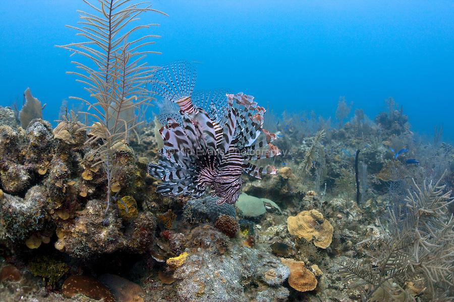A venomous lionfish is an introduced species at Jardines de la Reina off the coast of Cuba.