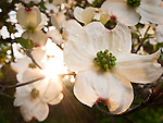 Dogwood blooms at sunset