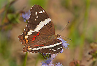 378590001 a wild banded peacock butterfly anartia fatima at  the naba site in mission hidalgo county lower rio grande valley texas united states