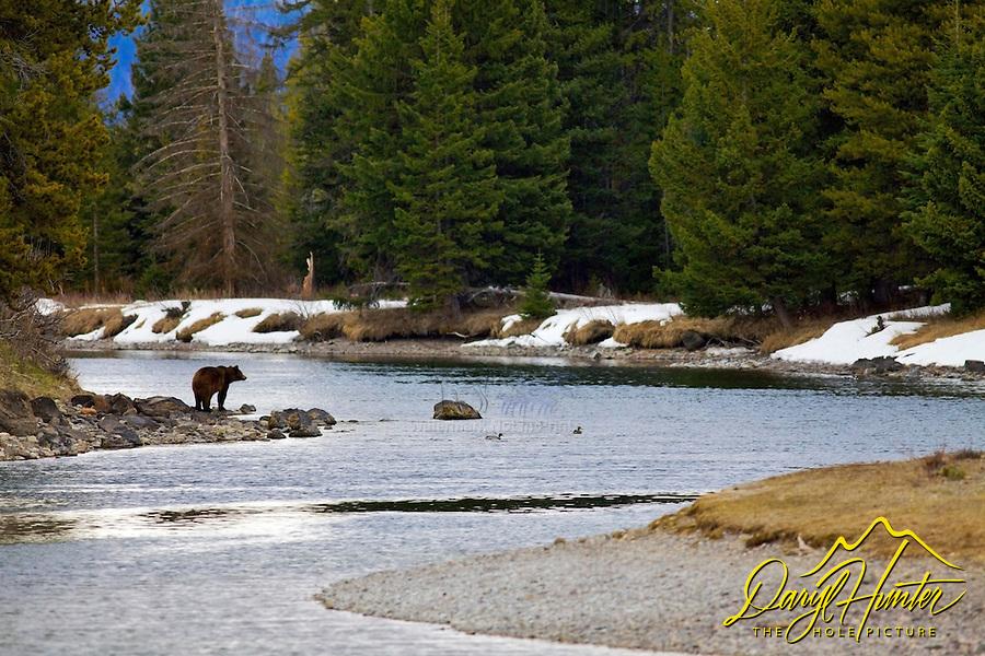 Grizzly Bear 610 in landscape, Snake River, Grand Teton National Park