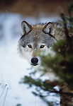 Grey wolf, Flathead Valley, Montana