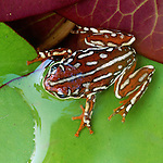 Painted reed frog on green lily pads, Okavango Delta, Ngamiland, Bostwana