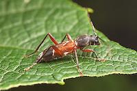 A Grape Trunk Borer (Clytoleptus albofasciatus) beetle perches on a leaf.