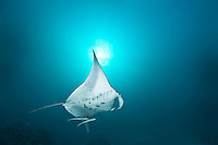 Manta and two remora fish swoop past in front of sunball - Palau Micronesia, Palau Micronesia. (Photo by Matt Considine - Images of Asia Collection)