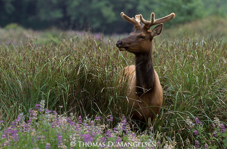 A single elk stands in a meadow of lupine in Northern California.