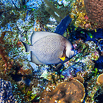 24 July 2015: A Gray Angelfish (Pomacanthus arcuatus) swims on the reef at Hammerhead Hill, on the North Shore of Grand Cayman Island. Located in the British West Indies in the Caribbean, the Cayman Islands are renowned for excellent scuba diving, snorkeling, beaches and banking.  Mandatory Credit: Ed Wolfstein Photo *** RAW (NEF) Image File Available ***