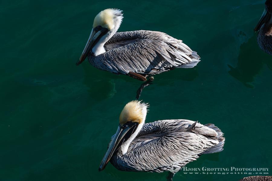 US, Florida, Key West. Adult Brown Pelicans.