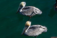US, Florida, Key West. Adult Brown Pelicans.