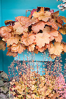 Heuchera Southern Comfort at top in pot & Heuchera Marmalade in flower with blue background wall in pretty container garden