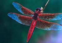 Dragonfly,  Colorado Plateau, Utah