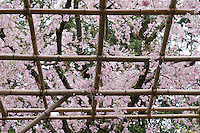The gardens of the Heian Shrine (Heian Jingu), Kyoto, Japan in which bamboo canes support the branches of flowering cherries (Prunus pendula 'Pendula')