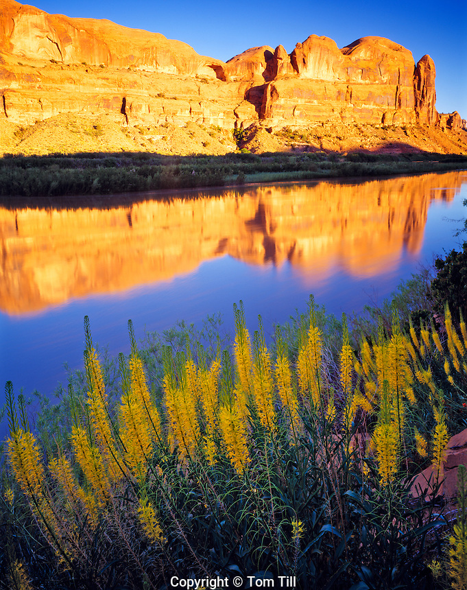 Prince's Plume and Colorado River, Near Moab, Utah      Stanleya pinnata