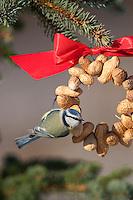 Blaumeise, an der Vogelfütterung, Fütterung im Winter bei Schnee, am Nuss-Ring, Nusssring, selbstgebasteltes Vogelfutter, Erdnüsse, Winterfütterung, Blau-Meise, Meise, Cyanistes caeruleus, Parus caeruleus, blue tit