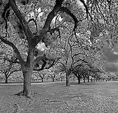 Two rows of Oak Trees Herman Memorial Park Houston, Texas