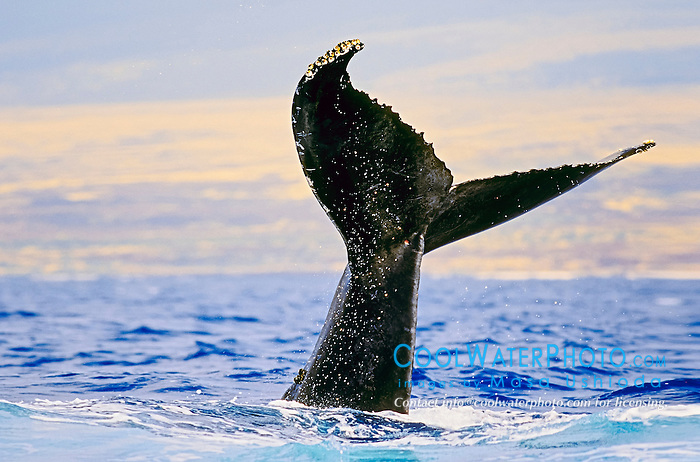 humpback whale, Megaptera novaeangliae, tail slapping or lobtailing, Hawaii, USA, Pacific Ocean
