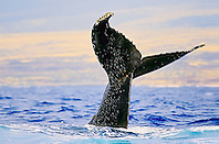 humpback whale, Megaptera novaeangliae, tail slapping or lobtailing, Hawaii, USA, Pacific Ocean