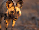 African wild dog.