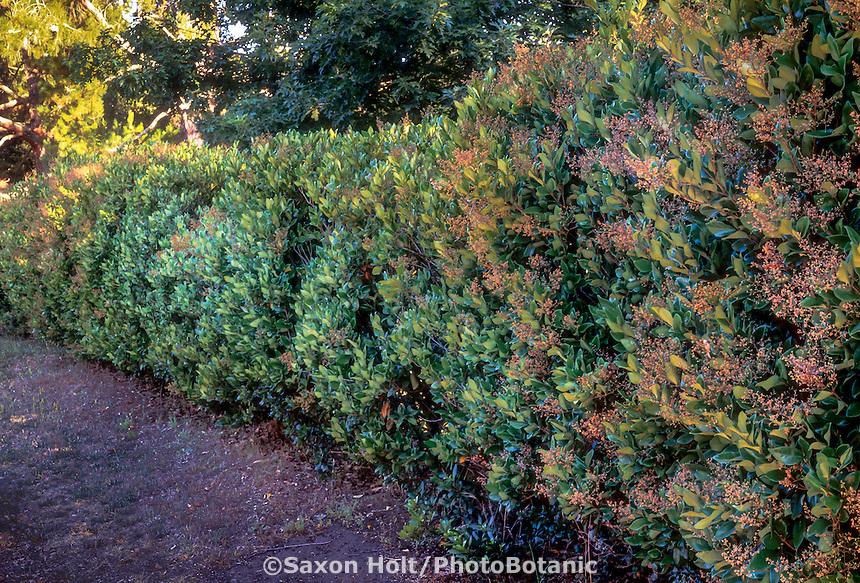 Ligustrum japonicum (Japanese Privet) hedge in garden.