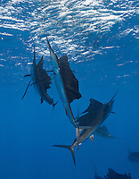 TK0469-D. Atlantic Sailfish (Istiophorus albicans) feeding on Spanish sardines (Sardinella aurita). The fastest fish in the sea capable of swimming 60mph in short bursts, sailfish are also very maneuverable and, working together, they herd the baitfish toward the surface. Then the sails take turns racing into the baitball, using their sharp bills like swords to slash at the sardines, knocking one out of the school and stunning it, after which the sailfish swallow the sardine whole. Gulf of Mexico, Mexico, Caribbean Sea.<br /> Photo Copyright &copy; Brandon Cole. All rights reserved worldwide.  www.brandoncole.com