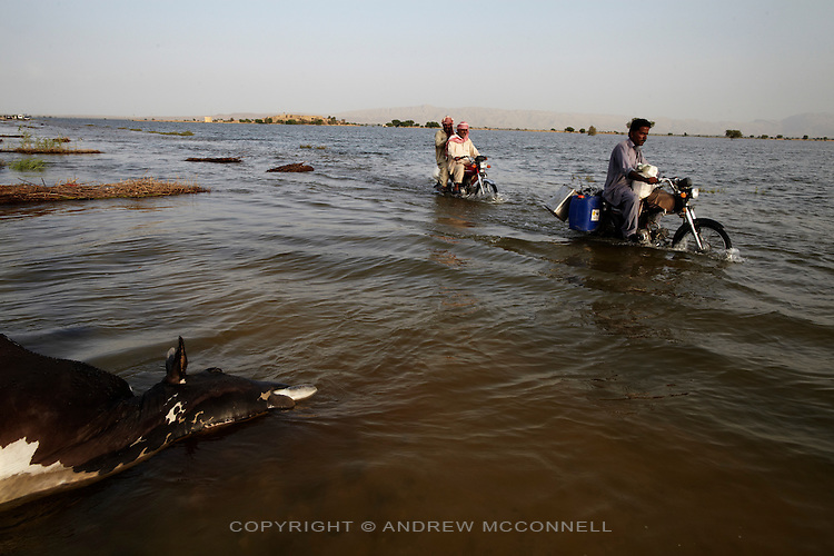 A dead cow lies by the side of a flooded road, in Jhanghara, Sindh province, Pakistan