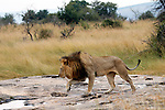 Africa, Kenya, Masai Mara. Lion walks across a rock after the rains in the Mara.