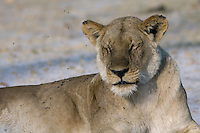 Resting lioness (panthera leo) in the early morning light.<br /> The Xakanaxa side of Moremi in the Okavango Delta, Botswana.<br /> September 2007.