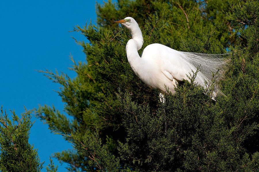Great White Egret perched in a tree in the Florida Everglades, scientific name Ardea Alba