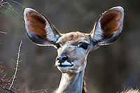Female Kudu.  The Kudu is in antelope family and this fine example of one is in Sabi Sands Game Reserve of South Africa