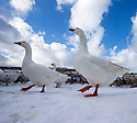 2015_03_02_goose-stepping_geese