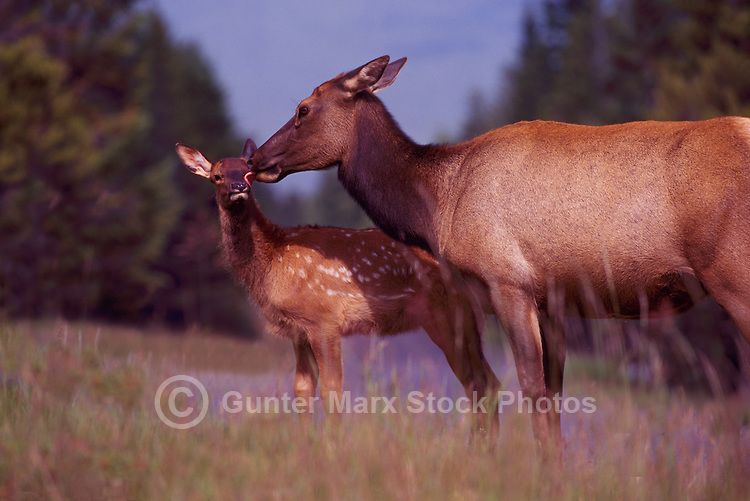 Banff National Park, Canadian Rockies, AB, Alberta, Canada - Elk Cow and Calf, Wapiti (Cervus canadensis) standing in Meadow