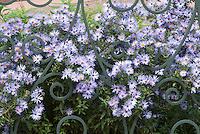 Aster oblongifolius 'October Skies' peeping through iron fence aka more properly Symphyotrichum oblongifolium