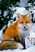 Mf87  Red Fox in snow.  (Vulpes vulpes)
