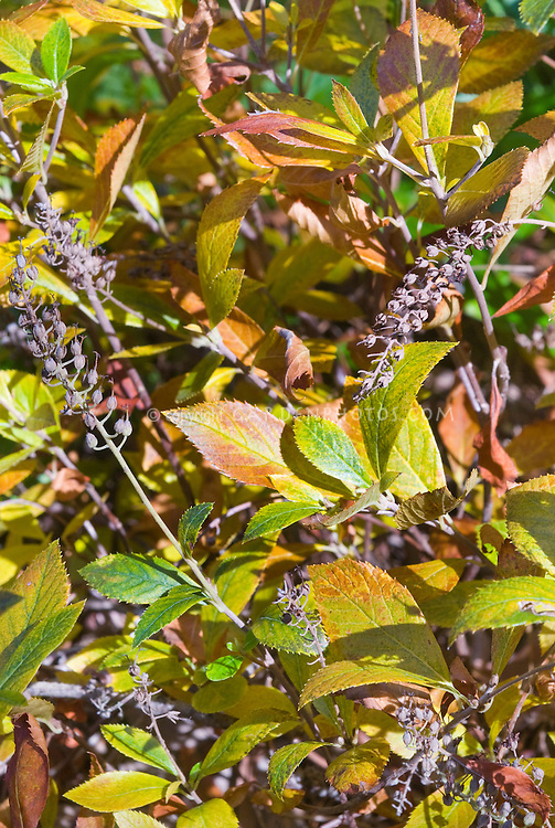 Clethra Alnifolia uk Clethra Alnifolia '