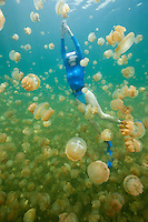 RH1179-D. Golden Jellyfish (Mastigias papua), perhaps Mastigias papua etpisoni, in world famous Jellyfish Lake, Palau. Millions of these jellies live in an isolated marine lake in the Rock Islands. Over time and in the absence of abundant predators, their stinging cells have lost most of their potency, and as a result, are generally harmless to people. Some scientists believe this may be a subspecies of the tropically widespread Spotted Jellyfish, others feel it may be a distinct species.<br /> Photo Copyright &copy; Brandon Cole. All rights reserved worldwide.  www.brandoncole.com