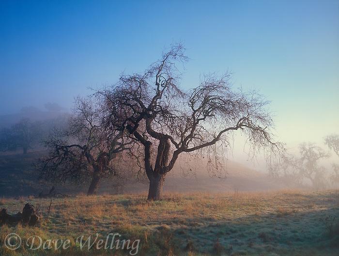 730850021 a california scrub oak quercus species in ground fog at dawn in the rolling hills surrounding lake cachuma in santa barbara county california
