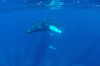 Humpback whales of the Silver bank, Domincan Republic