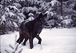 gray wolf in snowstorm