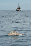Massive dead green turtle floating on the water surface with trawler in the background. Very possible bycatch thrown out from a trawler boat.