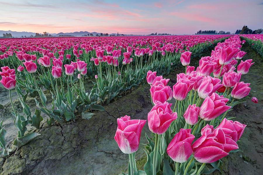 Rows of pink tulips, Mount Vernon, Skagit Valley, Skagit County, Washington, USA
