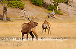 Bull Elk Bugling and Cow, Norris Junction, Yellowstone National Park, Wyoming