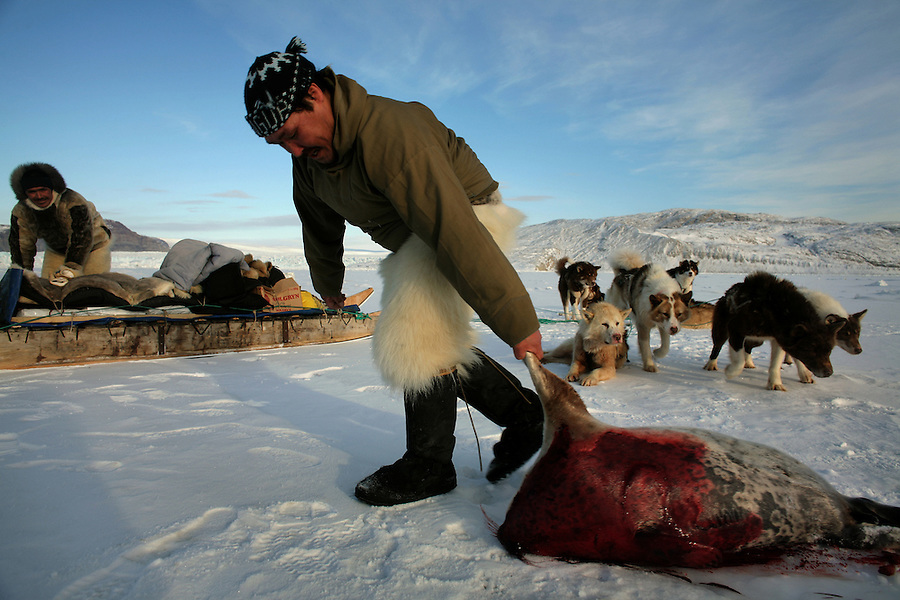 Inuit hunter Ilanguaq Qaerngua slides a dead seal his has shot towards his sled - later the seal will become a meal for his sled dogs. A changing climate - which shows itself in warming temperatures, earlier summers, later winters, and shrinking and thinning sea ice - threatens the livelihoods and traditions of some of the last subsistence hunters on Earth, the Polar Inuit communities of far Northwest Greenland.